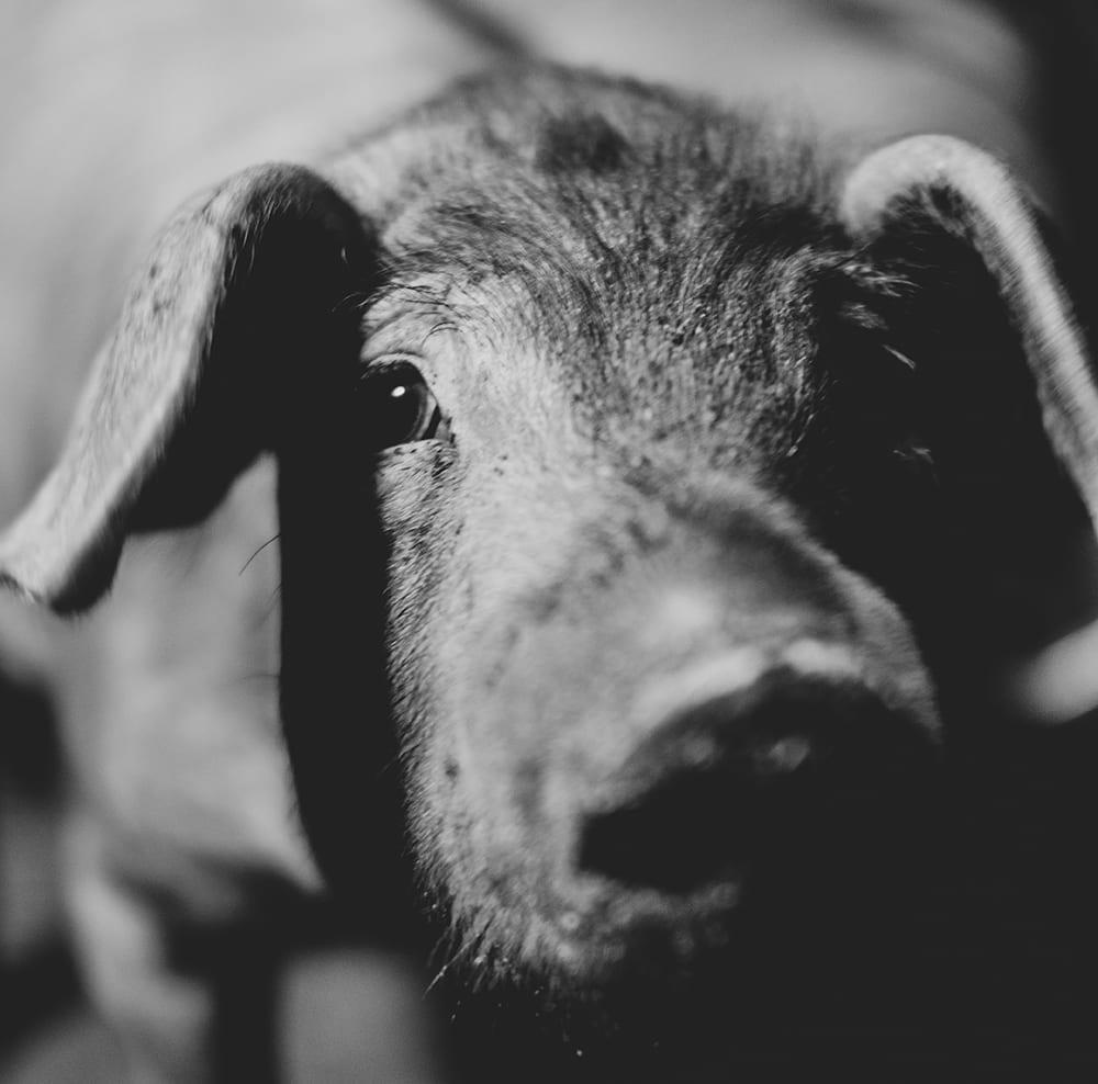 mimo en la cría de cerdos Segovia Rodríguez Sacristán