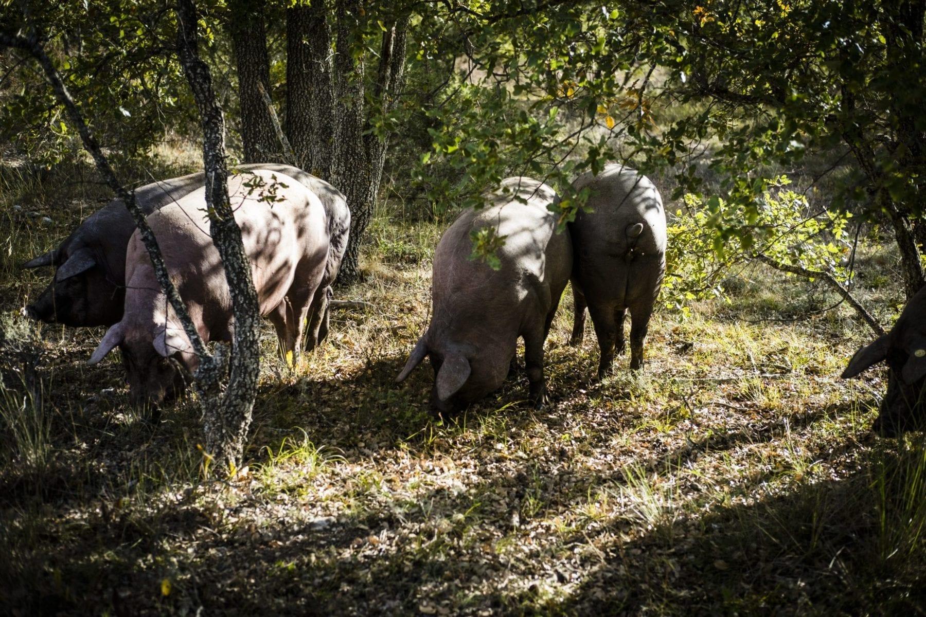 trazabilidad engorde de los animales Rodríguez Sacristán