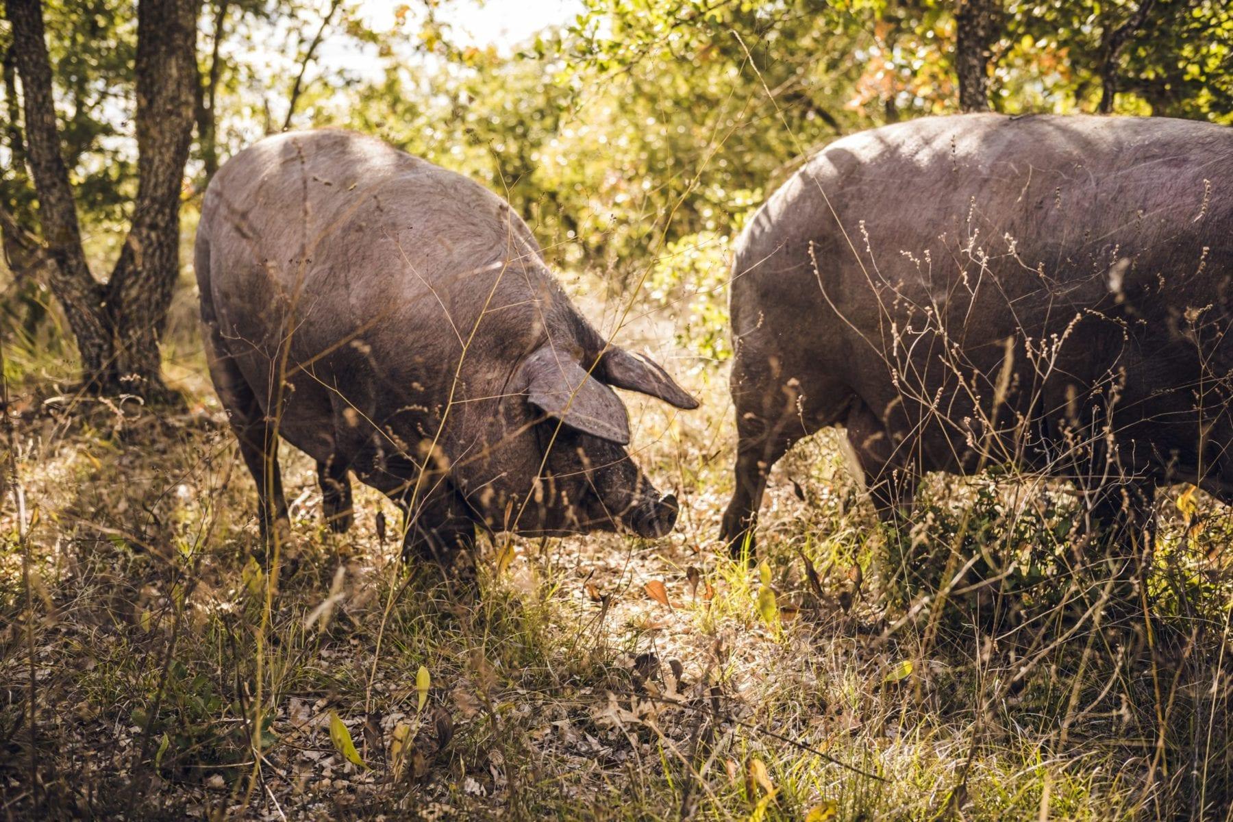cerdos criados en libertad Rodríguez Sacristán